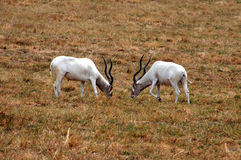 Buck Fight. Two white deer bucks squaring off stock photography
