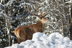 Buck in forest Royalty Free Stock Photos