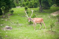 Buck in forest Royalty Free Stock Photography