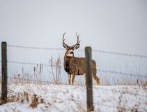 A Buck In Full Rut Stock Photo