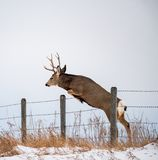 A Buck In Full Rut Jumping Fence Royalty Free Stock Images