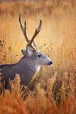 Buck In Grass Imagen de archivo libre de regalías