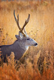 Buck In Grass Royalty Free Stock Image