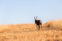 Buck Grasslands Wildlife Animals Fotografía de archivo