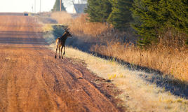 Buck on Gravel Road Royalty Free Stock Images