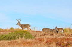 Buck on guard Royalty Free Stock Photo