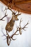 Buck head and antlers mounted on a wall. Collection of hunting trophies consisting of a buck head and antlers mounted on a curved wall below a wooden ceiling Royalty Free Stock Images