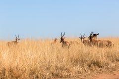 Buck Herd Grasslands Wildlife Animals Fotos de archivo libres de regalías