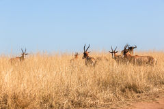 Buck Herd Grasslands Wildlife Animals. Wildlife herd of buck cape blesbok animals in winter grassland morning landscape wilderness park reserve Royalty Free Stock Photos