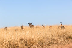 Buck Herd Grasslands Wildlife Animals. Wildlife herd of buck cape blesbok animals in winter grassland morning landscape wilderness park reserve Royalty Free Stock Image
