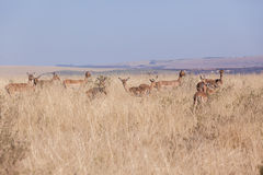 Buck Herd Wildlife Animals Photographie stock