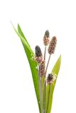 Buck horn plantain Royalty Free Stock Image