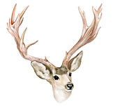 Buck with horns Royalty Free Stock Photography