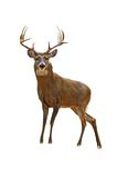 Buck isolated. A isolated of a proud buck during mating season stock photography