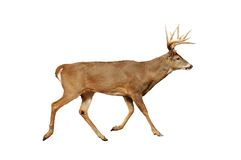 Buck isolated. A isolated picture of a buck during mating season stock photo