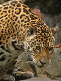 buck jaguara zdjęcie Obraz Stock