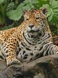 buck jaguara zdjęcie Obrazy Stock