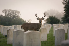 buck jeleni śledzić white Zdjęcia Royalty Free