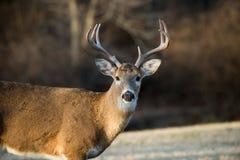 buck jeleni śledzić white Zdjęcie Stock