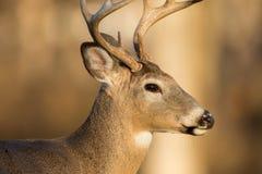 buck jeleni śledzić white Zdjęcie Royalty Free