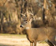 buck jeleni śledzić white Fotografia Stock