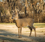 buck jeleni śledzić white Obrazy Royalty Free