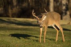 buck jeleni śledzić white Obrazy Stock