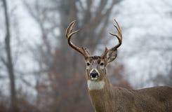 buck jeleni śledzić white Fotografia Royalty Free