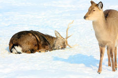Deer lay with his eyes closed, and nearby there is a female deer. Stock Photo