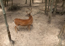 Buck Looking Backward fotos de stock royalty free