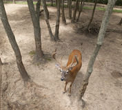 Buck Looking Up. Overhead Shot of a Buck Looking Up Royalty Free Stock Image