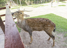 Buck or male spotted deer looks curious. In Zoo at Ratchaburi Thailand Royalty Free Stock Image