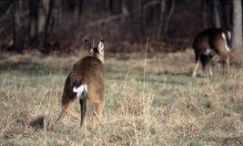 Buck Marking Territory imagens de stock royalty free