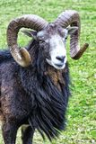 Buck mountain sheep. Male mountain sheep, close-up, with big horns Stock Image