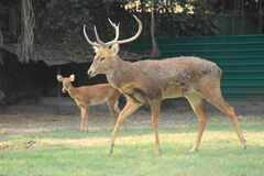 Buck Mule Deer. stock foto