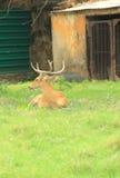 Buck Mule Deer. Royalty Free Stock Images