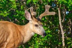 Buck Mule Deer con las nuevos astas y cuernos Imagen de archivo libre de regalías