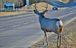 Buck Mule deer cross's the road Royalty Free Stock Photo