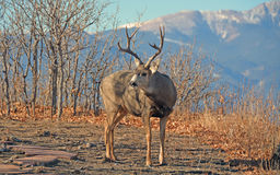 Buck Mule Deer iwith Mountains and Scrub Oak Trees Royalty Free Stock Photos