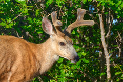 A Buck Mule Deer with New Antlers and horns Royalty Free Stock Image