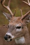 Buck Portrait. White-tailed deer buck in the fall Royalty Free Stock Photography