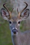 Buck portrait Stock Image