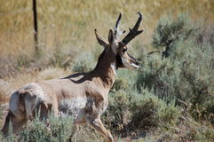 Buck  Pronghorn Antelope Royalty Free Stock Images