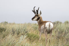 Buck pronghorn from rear in the sagebrush flats Royalty Free Stock Images