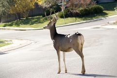 Buck in Road Royalty Free Stock Photography