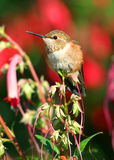 buck ryża kolibra Obrazy Royalty Free
