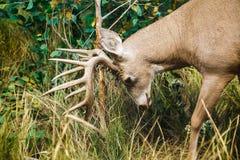 Buck Scraping Antlers stock afbeeldingen
