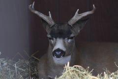 Buck Sitka Black Tail Deer in het Centrum van het het Wildbehoud van Alaska Stock Afbeeldingen