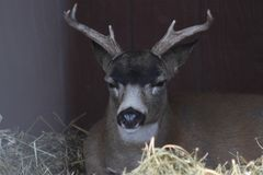 Buck Sitka Black Tail Deer i mitten för Alaska djurlivbeskydd Arkivbilder