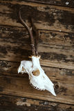 Buck skull on old boards Royalty Free Stock Photography